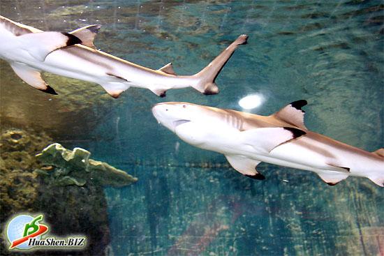 www.HuaShen.BIZ - Аквариум с акулами.  Фотографии акул в аквариуме.
